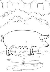 Свинья картинки раскраски (5)