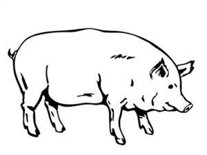 Свинья картинки раскраски (60)