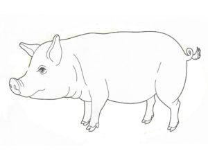 Свинья картинки раскраски (65)