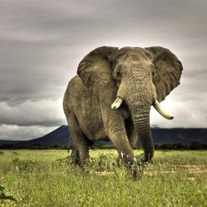Слон раскраски