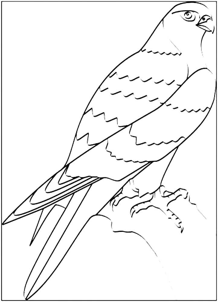 конкретном картинка сокола раскраска тетерева