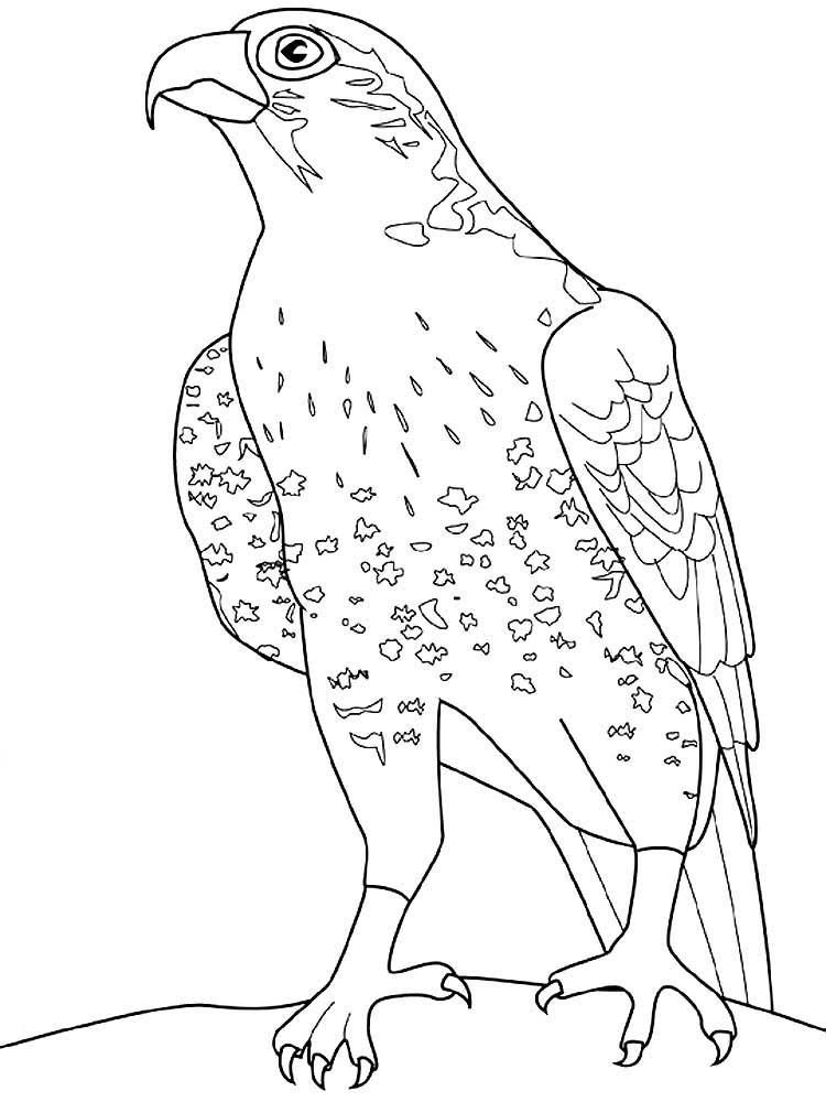конечно картинка сокола раскраска странный внешний вид