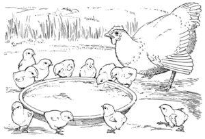 Цыпленок картинки раскраски (8)