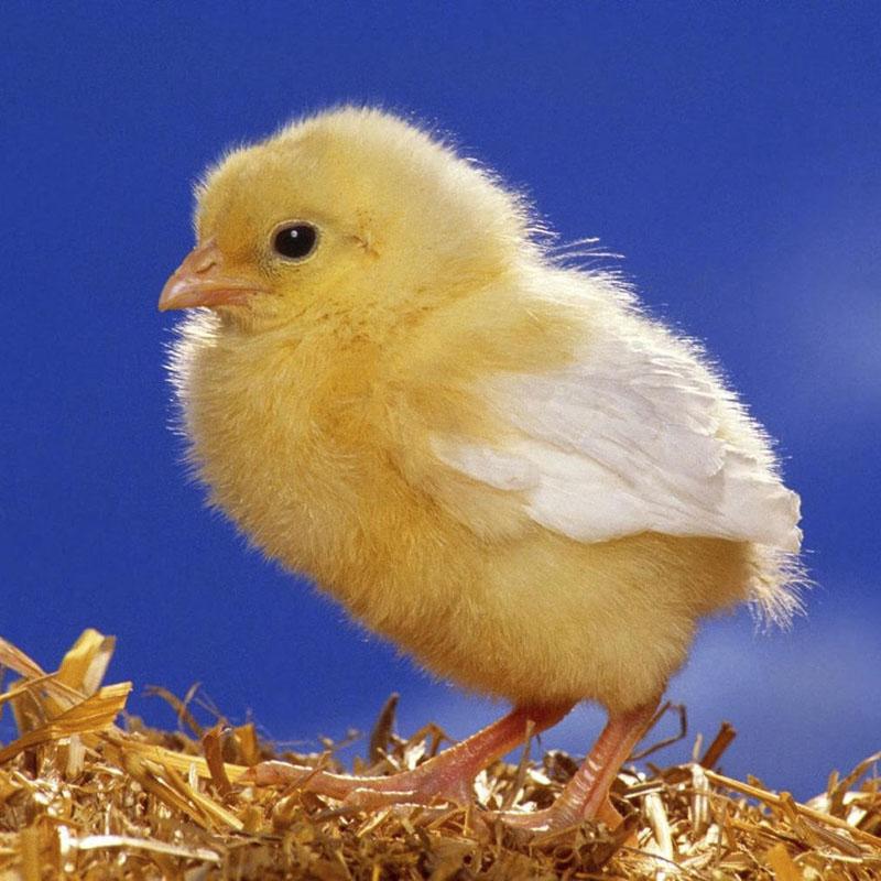 Цыпленок раскраски