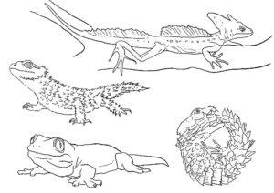 Ящерица картинки раскраски (1)