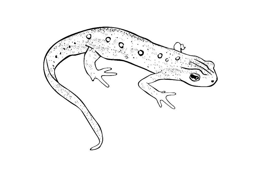 Картинка тритон ящерица